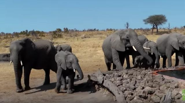 Surprise visit from wild elephants drink from pool. [Image source/Rumble Viral YouTube video]