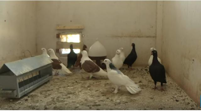 Europe's last military carrier pigeons roost outside Paris. [Image source/AFP News Agency YouTube video]