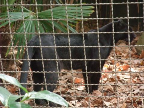 Archivo:Barcelona-Zoo-Pantera negra, forma melánica del leopardo ... - wikipedia.org