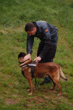 El especialista prepara a su animal segundos antes de ponerlo a buscar