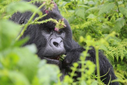 Chiudono alcuni parchi in Africa, anche i gorilla di montagna sono a rischio per coronavirus