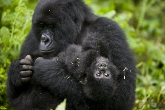 Il Covid-19 puo' contagiare anche i primati