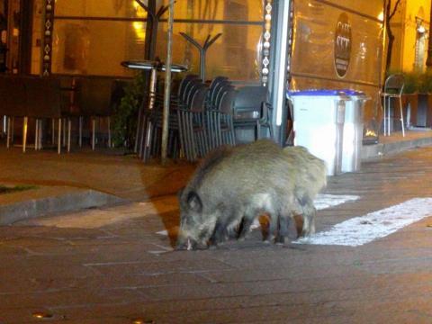 Los animales aprovechan la tranquilidad de las ciudades para pasear por ellas