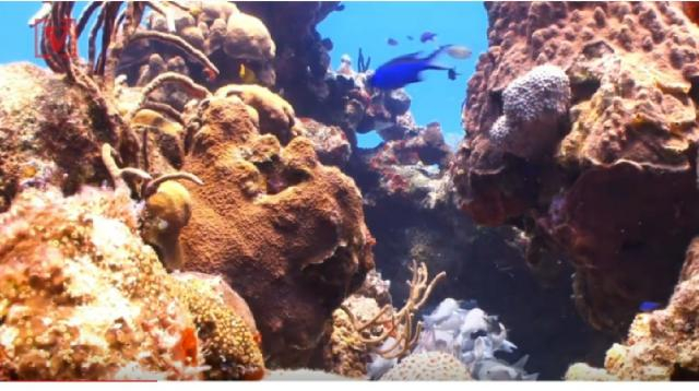 Scientists say Australia's GB Reef faces crucial bleaching of coral reefs. [Image source/Veuer YouTube video]