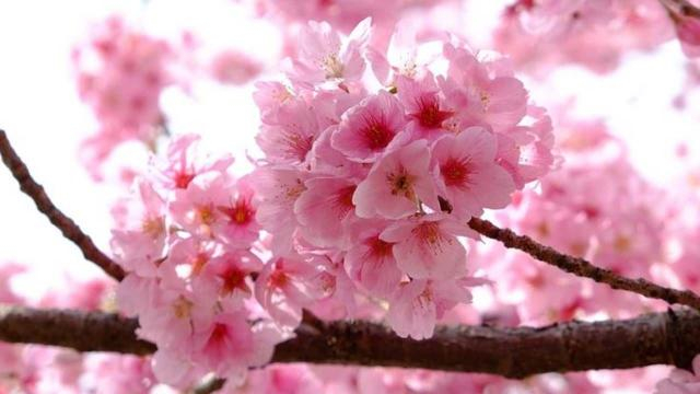 Japan Cherry Blossom - Image credit - t_watanabe / CCO/ Pixabay