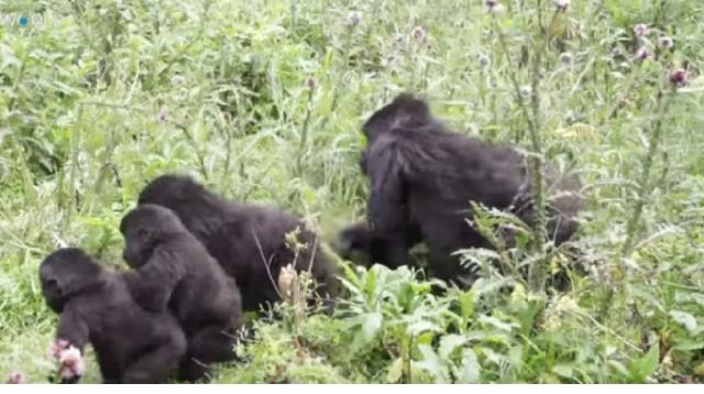 Virunga National Park: Famous gorilla reserve closes its doors to tourists. [Image source/TRT World YouTube video]