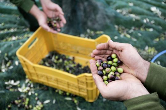 Les olives utilisées pour fabriquer les huiles d'olive Segermès en Tunisie sont récoltées à la main