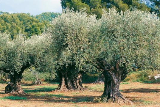 Les oliviers plusieurs fois centenaires en production pour élaborer les huiles d'olive Segermès en Tunisie