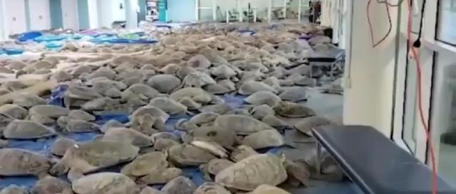 Thousands of sea turtles rescued in Texas during frigid temperatures, winter storm. [Image source/NewsNet YouTube video]